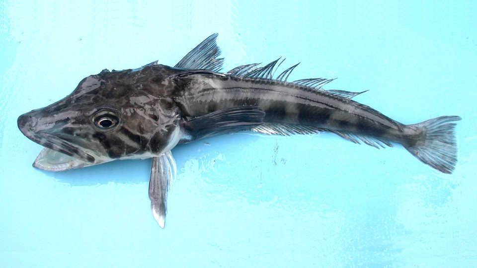 Long View Study No. 32 (Antarctica's Antifreeze Fish)