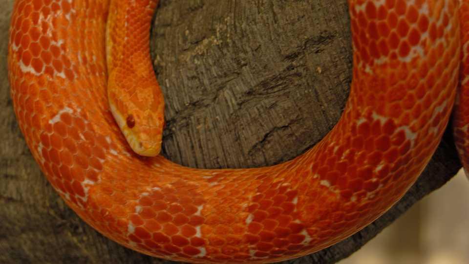An orange corn snake curls around a large tree branch