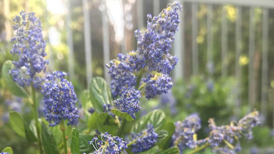 A ceanothus plant in bloom