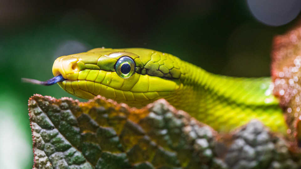 Close-up of redtailed green ratsnake with tongue out