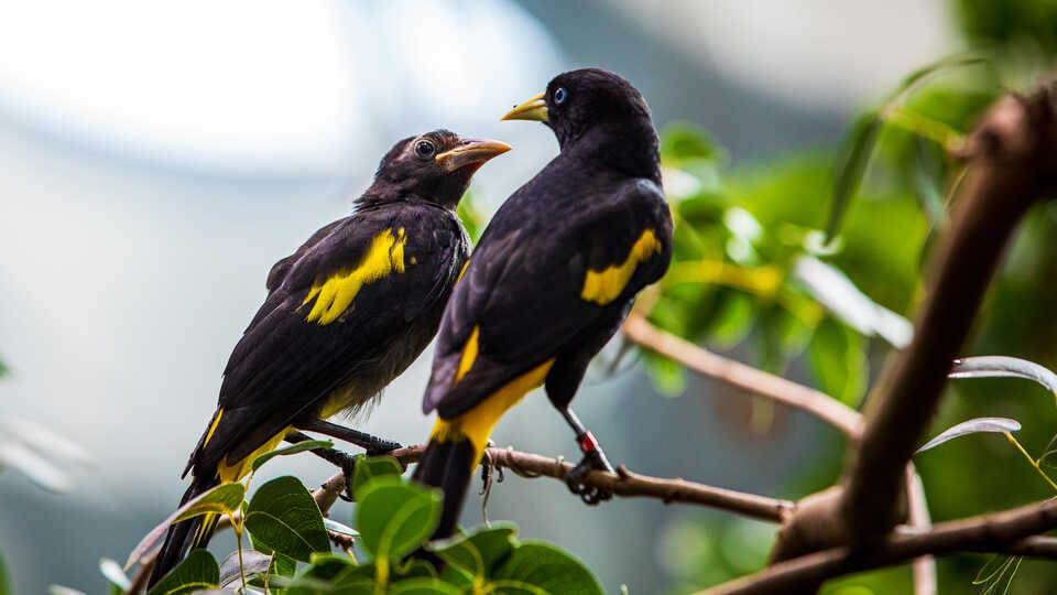 2 yellow-rumped cacique bird in Osher Rainforest at the Academy