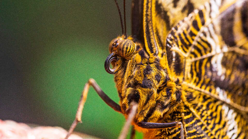 Close-up of yellow and black butterfly with furled proboscis