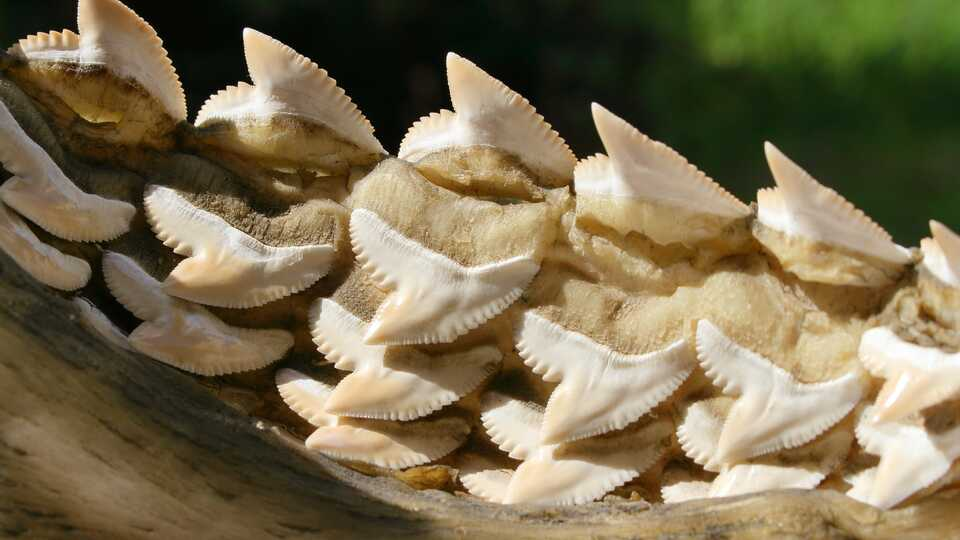 Closeup photo of serrated shark teeth