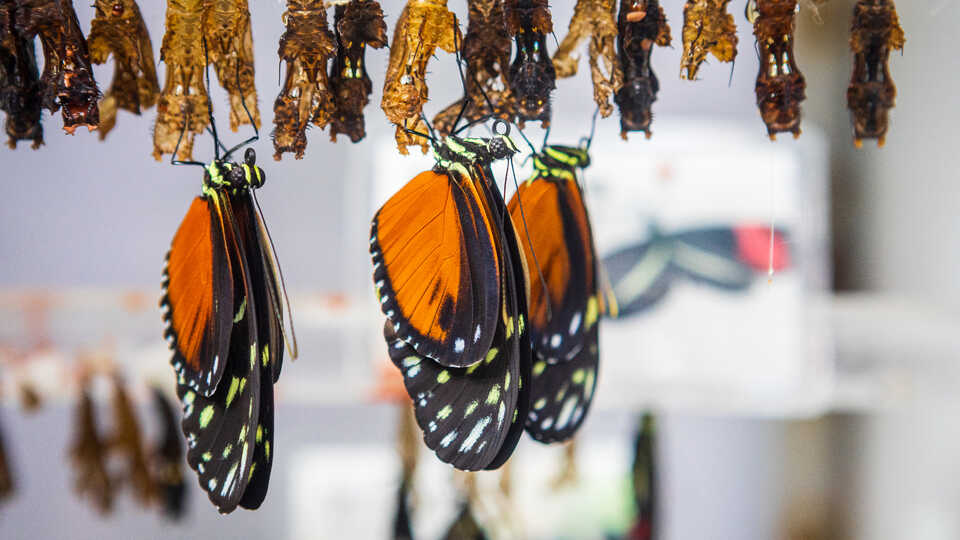 Orange heliconia butterflies hang upside down after hatching from chrysalis