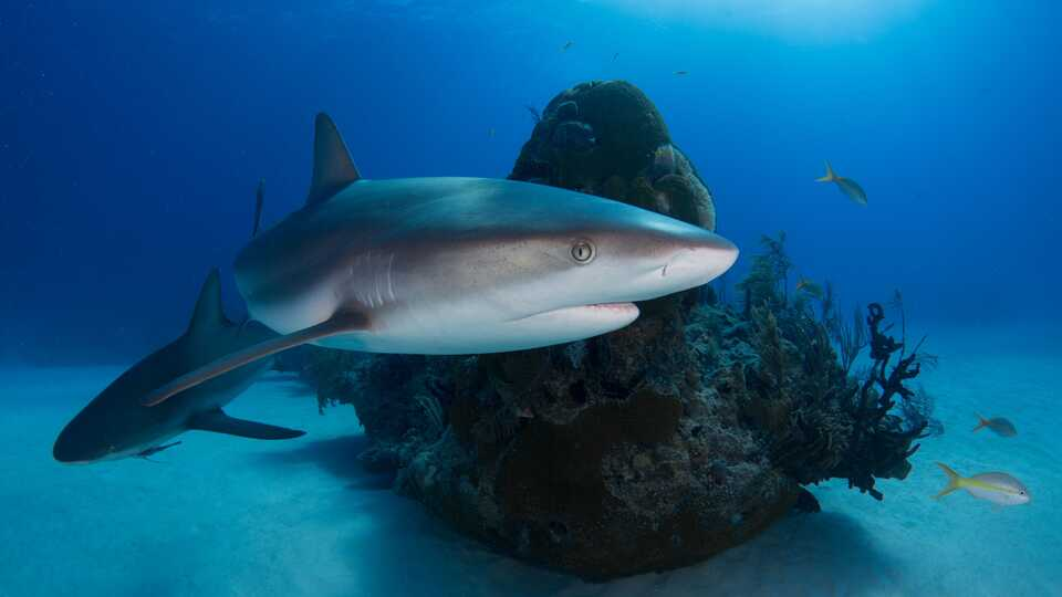 Reef sharks swim around a coral reef with small fish
