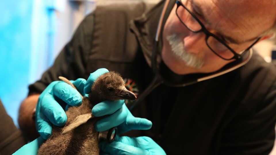 Academy veterinarian Freeland Dunker examines penguin chick