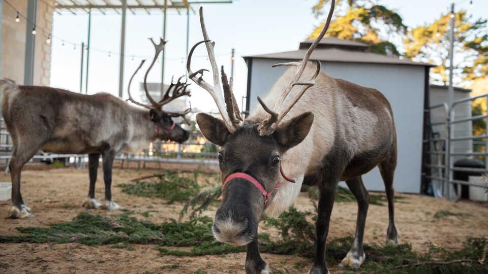 Two reindeer in the East Garden