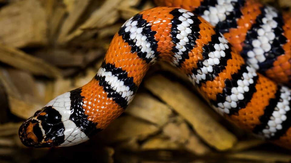 Orange, black, and white striped kingsnake